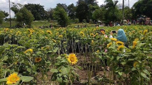 Cara Gampang Menanam Bunga Matahari Giveaway Inspirazzle